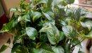 كل ما تود معرفته حول زراعة نبات البوتس