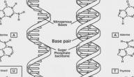 متى تم اكتشاف البنية الجزيئية للاحماض النووية في الجسم dna