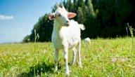 صغار الماعز