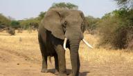 معنى الفيل في الحلم