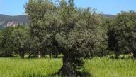 كم سنة تعيش شجرة الزيتون