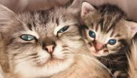 علامات الولادة عند القطط