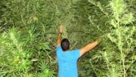 كيفية زراعة نبات البانجو
