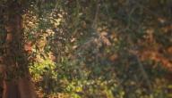 ما فوائد شجرة الزيتون