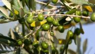 تعريف شجرة الزيتون