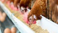 مكونات علف الدجاج البياض