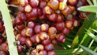 فوائد ثمرة الدوم