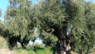 بحث عن شجرة الزيتون