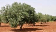 أنواع اشجار الزيتون