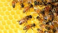 أضرار النحل