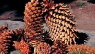 أسماء نباتات معراة البذور