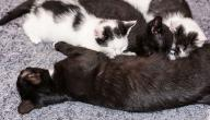كيفية أرضاع القطط حديثة الولادة