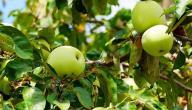 فوائد تفاح الأخضر