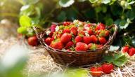 أين تزرع الفراولة
