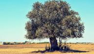 أفضل أنواع شجر الزيتون
