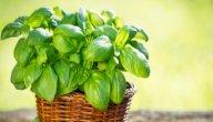 دليلك لزراعة الريحان في المنزل