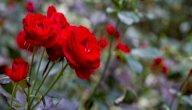 زراعة الورد الجوري في المنزل