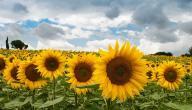 أضرار بذر دوار الشمس