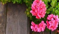تعرف على خطوات زراعة نبات العطرة في المنزل