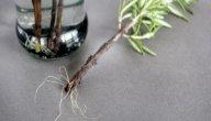 ما هو هرمون التجذير للنباتات؟