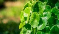 عشبة الجوتوكولا: تعرف على فوائدها الصحية والجمالية