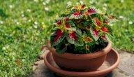 تعرف على طرق زراعة نبات السجاد وكيفية العناية به
