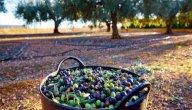 تعرف على كيفية عمل دراسة جدوى لمشروع زراعة الزيتون