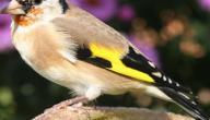 اجمل صوت طائر في العالم