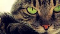انواع القطط واشكالها