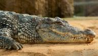 حلمت بتمساح