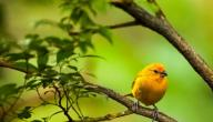 احلى طيور الكناري