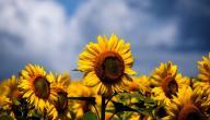 ما هي فوائد بزر الشمس