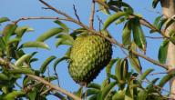 ما هي فوائد فاكهة القشطه