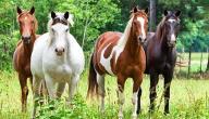 الفرق بين الحصان العربي والحصان الإنكليزي
