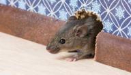 طرق القضاء على الفئران في المنزل