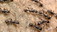 طريقة طرد النمل من البيت