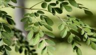 فوائد نبتة المورينجا
