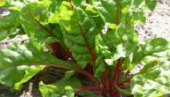 فوائد نبات السلق