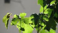 فوائد ورق العنب