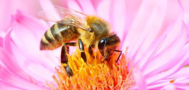 فوائد غذاء ملكات النحل للعقم