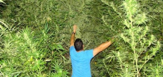 معلومات عن نبات البانجو وآثاره السلبية
