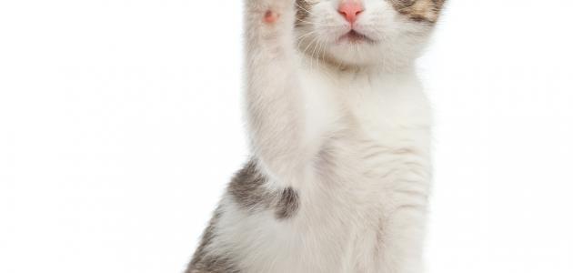 ما حكم تربية القطط
