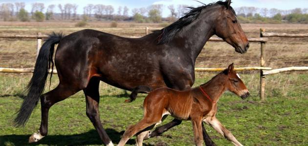 الفرق بين الحصان والحمار
