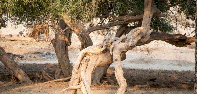 كيفية زراعة شجرة الاراك