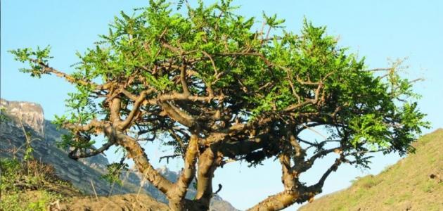 فوائد شجرة اللبان حياتك