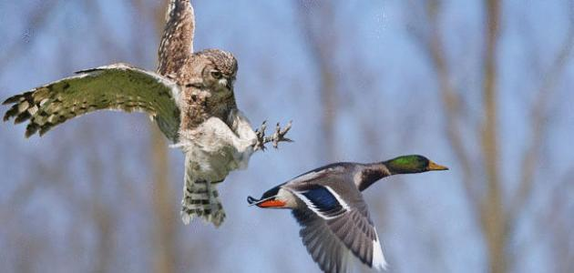 أنواع الطيور الجارحة