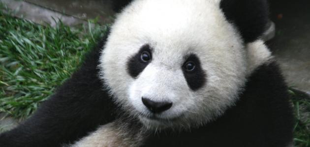 بحث حول الباندا حياتك