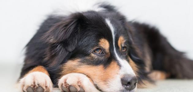 أنواع كلاب الزينة