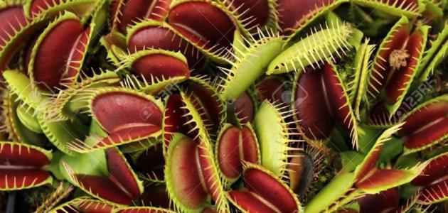 أسماء نباتات مفترسة تصيد الحشرات