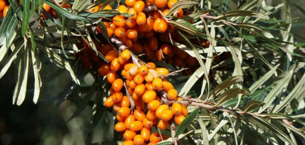 ثمرة النبق